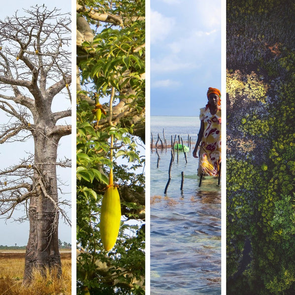 image of the Baobab, and seaweed harvest. Allwild wild plants growing in their natural envirinment
