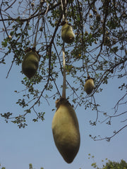 Baobab fruit image