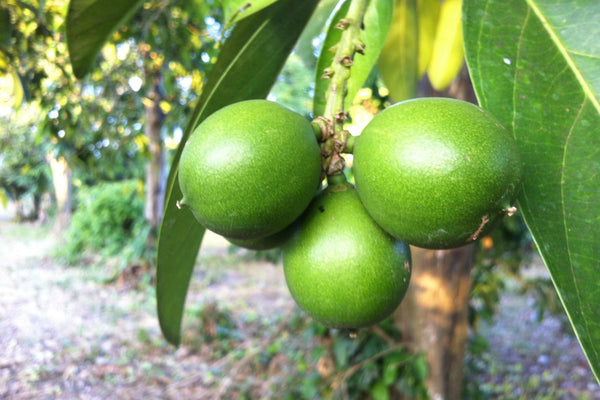 the cacay nut, an excellent source of natural retinol