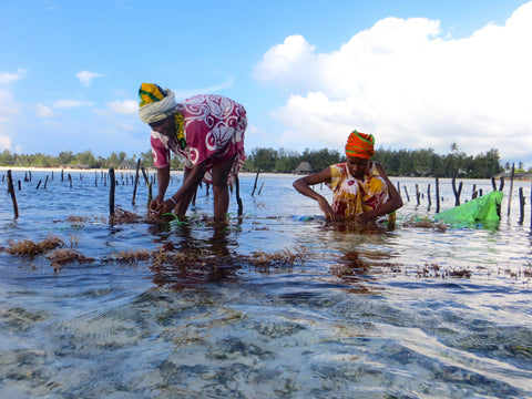 Women harvesting seaweed for the KAIBAE face oil