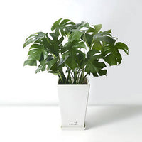 Swiss cheese plant with FRP Pot