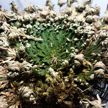 Load image into Gallery viewer, Rose of Jericho Resurrection Plant