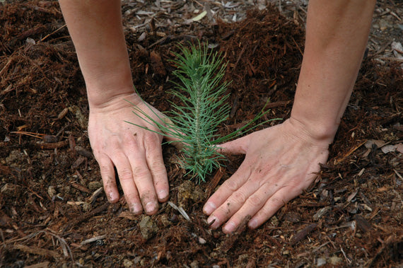 Pine seedling Sustainable