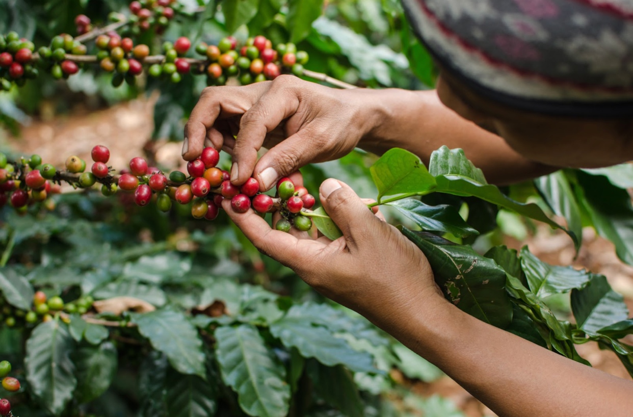 Journey of Coffee Flavours. Part 1 : Sourcing