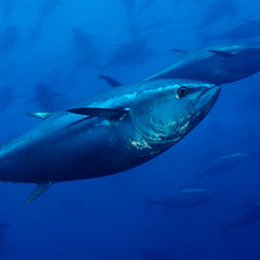 ensure bluefin tuna rebound
