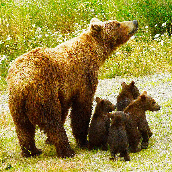 Help Protect the Grizzly's Home