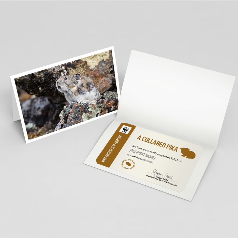 Collared pika card