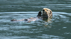 protect the sea otter's home
