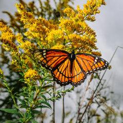 Protect the flight of the Monarch Butterflies