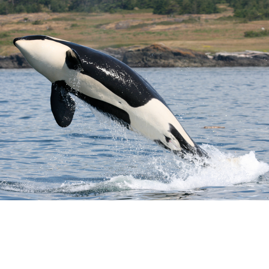 A southern resident killer whale (orca)