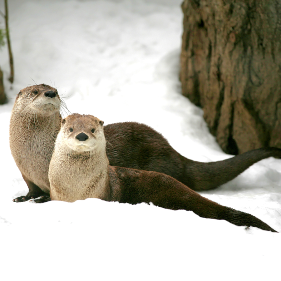 Two river otters