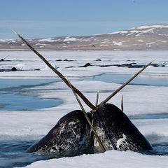 protect the narwhal's icy home