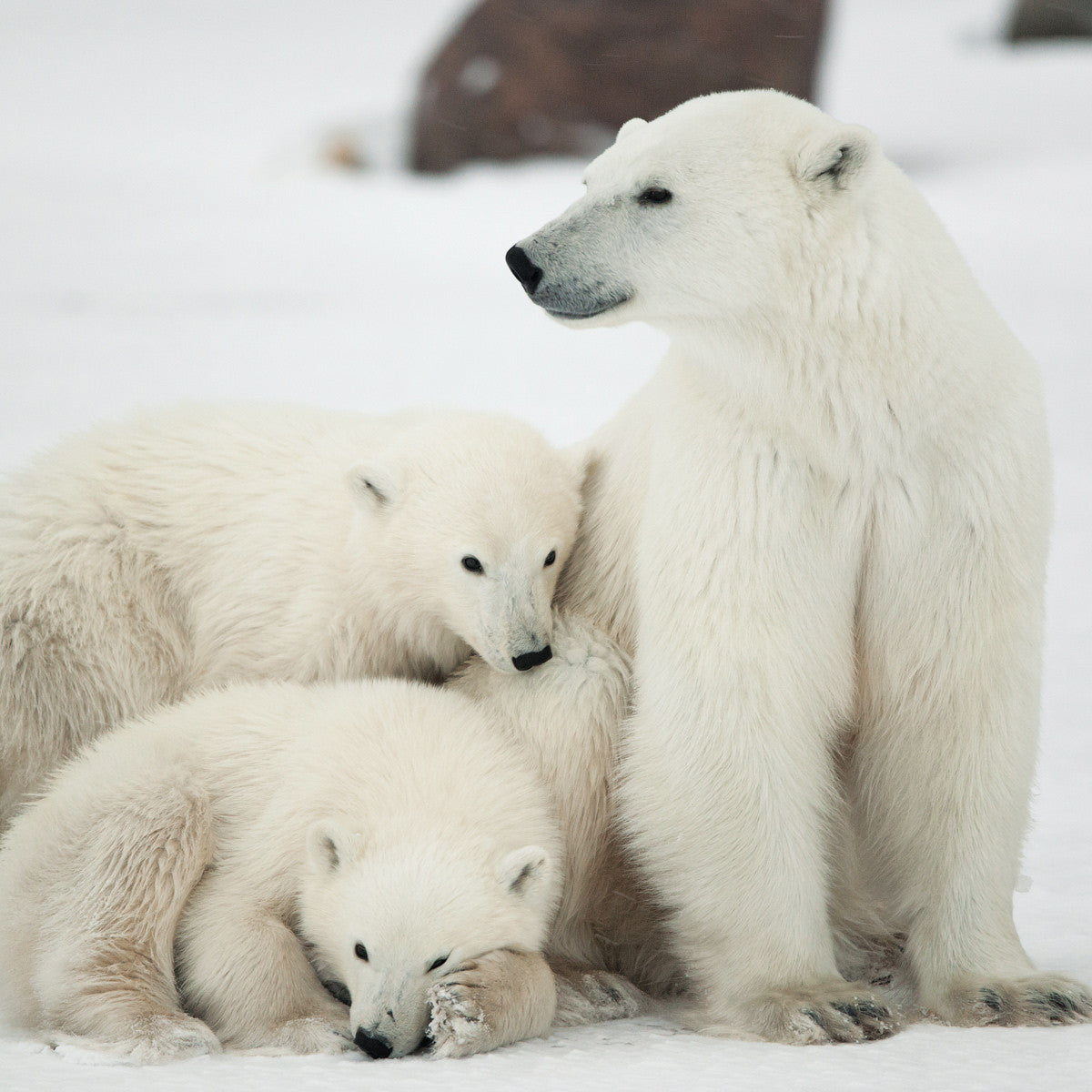 Famille d'ours polaires