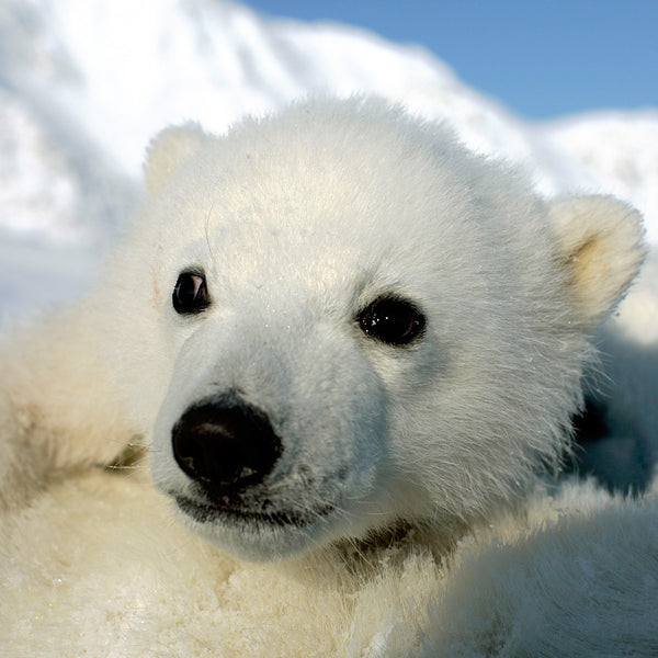 Help a Polar Bear Keep Cool