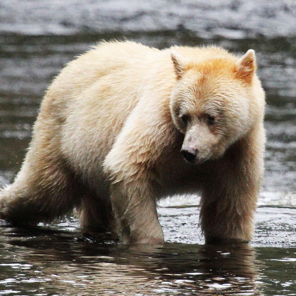Help a Spirit Bear Thrive