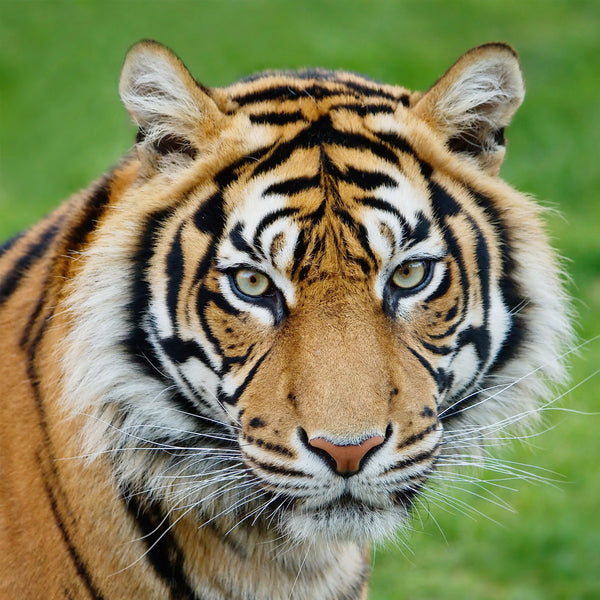 finest selection 3b9a5 c34ce Adopt a Tiger   WWF-Canada