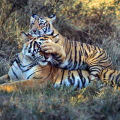 Give a Tiger a Fighting Chance