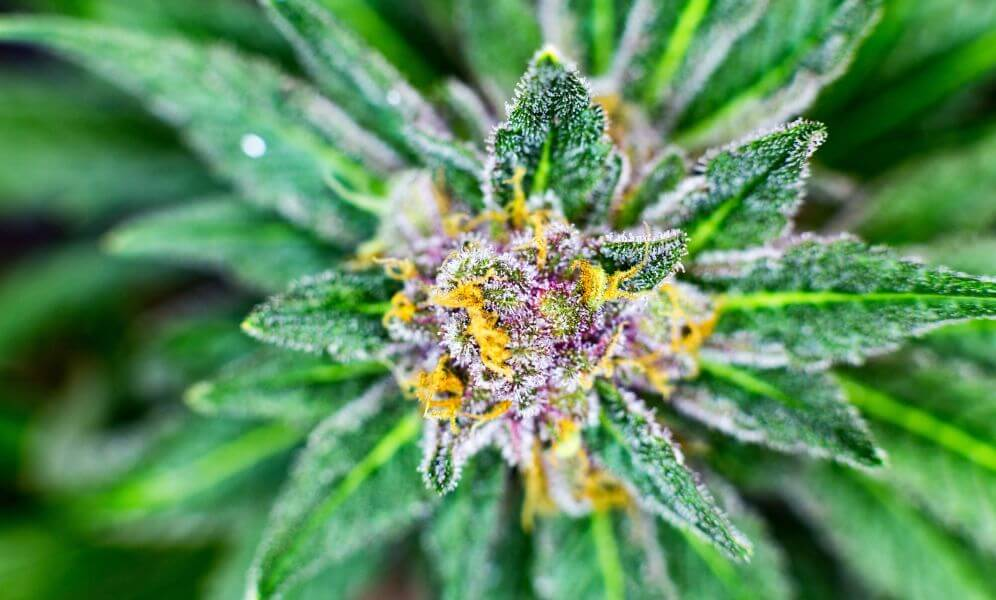 Flowering Stage Tips For Cannabis
