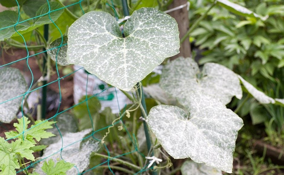 Facts About Garden Mildew