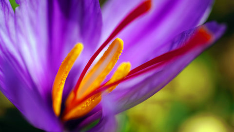 Growing Your Own Saffron: A Guide