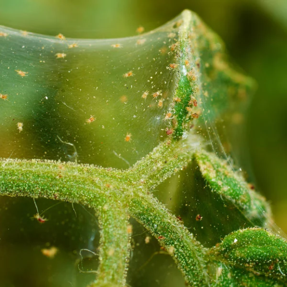 How To Get Rid Of Spider Mites