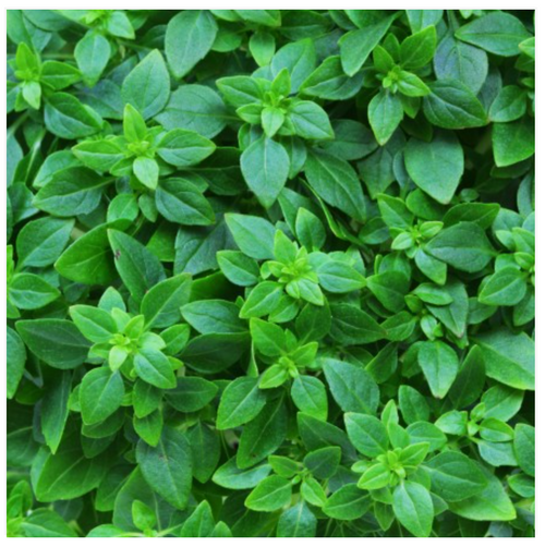 Basil Sicilian Small Leaf