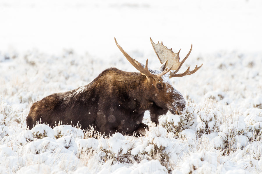 MOOSE IN SNOWY SAGE
