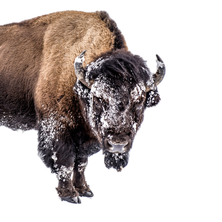 BISON ON SNOW