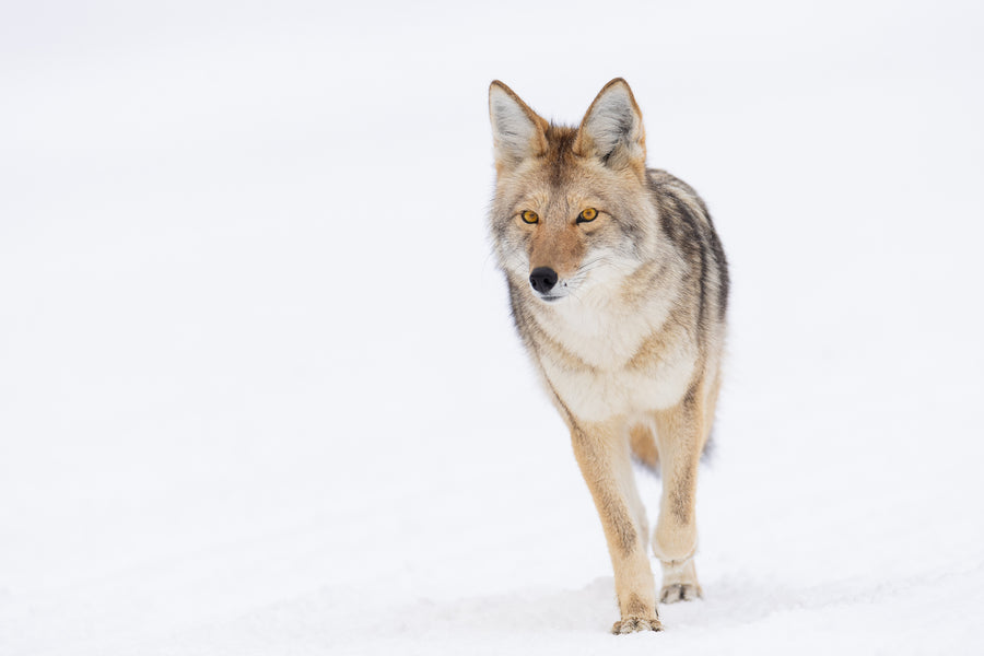 COYOTE ON SNOW