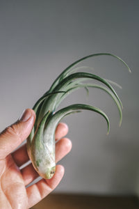 Circinata Airplant