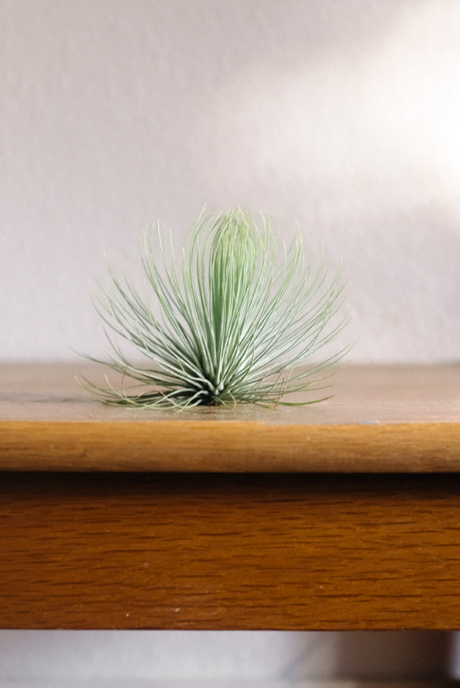 Andreana airplant
