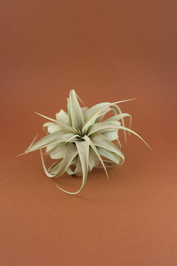Xerographica Bonsai airplant