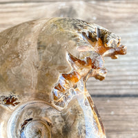 "Chambered Whole Sutured Ammonite - Approx. 3.0"" Long, 6.4 oz, Polished Fossil"