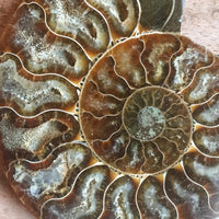 "Ammonite Fossil Pair w/ Calcite Chambers: 3.25"" Length, 4.1oz (116g) Polished"