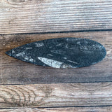 "Orthoceras Spear Fossil: 5.3"" Long, 4.1 oz (116 g), Real Authentic"
