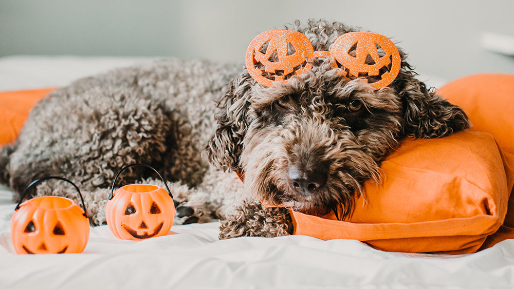 4 Tips to Keep Your Dog Safe and Calm on Halloween