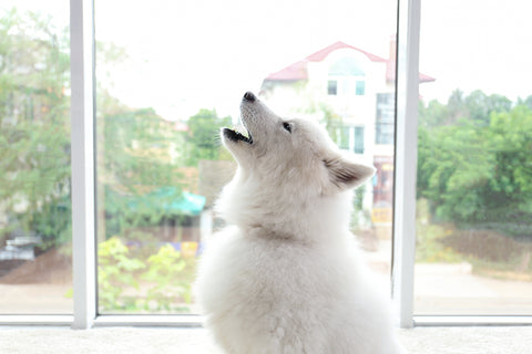 white dog in front of window is howling