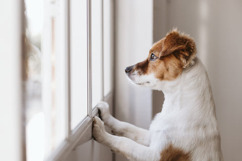 dog looking out window separation anxiety