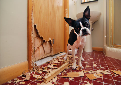sad dog that has destroyed a door is standing in a bathroom with wood pieces all over
