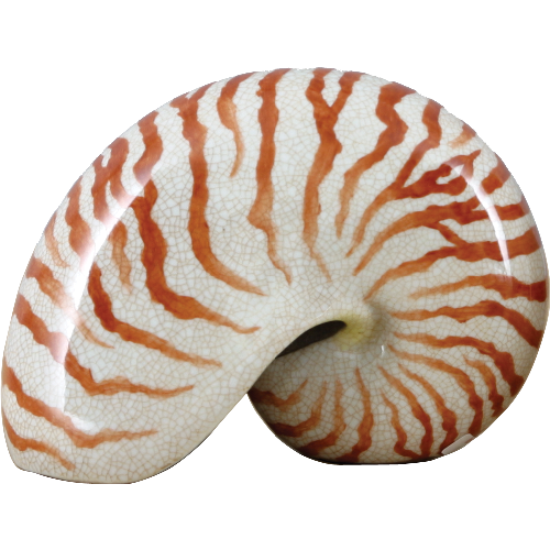 Medium  Decorative Sea Shell