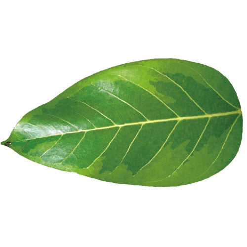 Greeting Life Green Greeting Card Ficus altissima MM-63