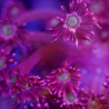 Load image into Gallery viewer, Pink Daisy Goniopora