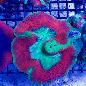 Red and Green Trachyphyllia