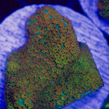 Load image into Gallery viewer, Rainbow Montipora (encrusting)