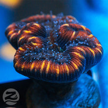 Load image into Gallery viewer, Gold Stripe Trachyphyllia