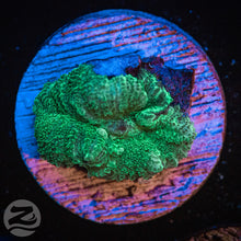 Load image into Gallery viewer, Green Discosoma Mushroom