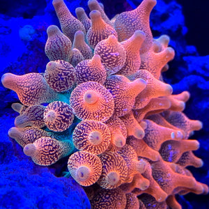 Funburst Bubble Tip Anemone