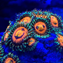 Load image into Gallery viewer, Rainbow Incinerator Zoanthid