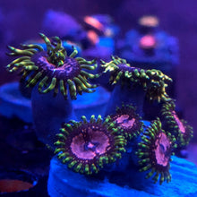 Load image into Gallery viewer, Purple Monster Zoanthid