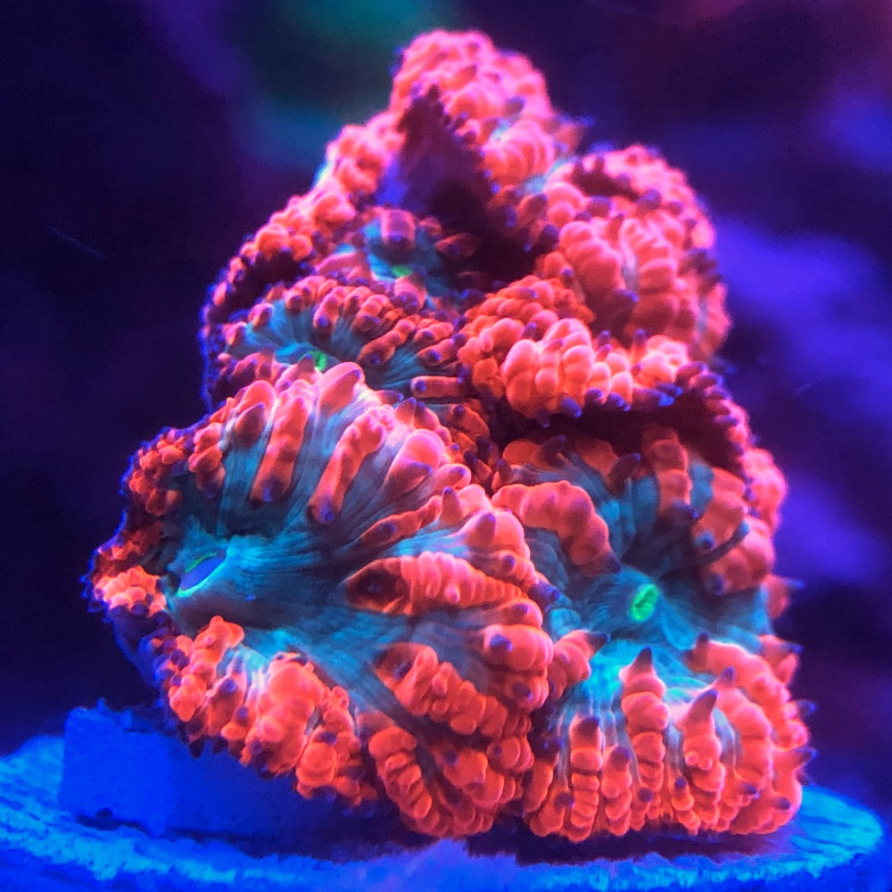 Red and Teal Blastomusa